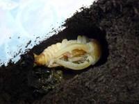ノコギリクワガタ 蛹
